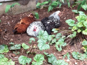 Chickens. Like the Honey Badger, but far less aggressive.